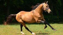 Akhal-Teke Horse Wallpaper Free