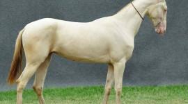 Akhal-Teke Horse Wallpaper Gallery