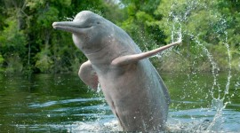 Amazonian Dolphins Wallpaper For PC