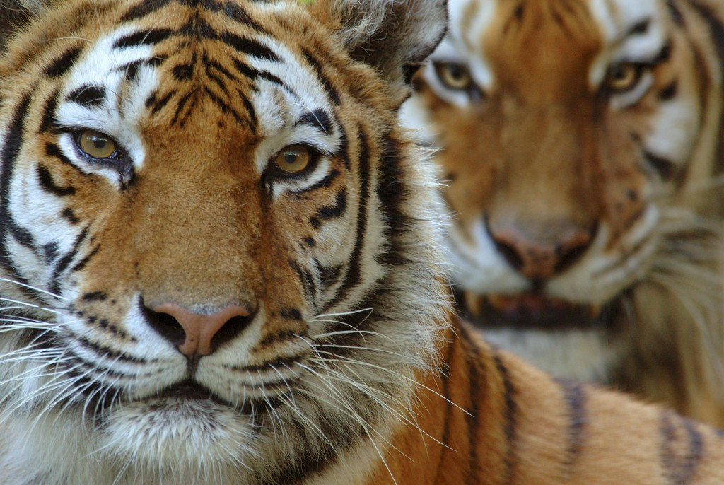 Amur Tiger wallpapers HD