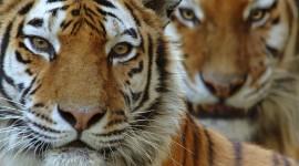 Amur Tiger Best Wallpaper