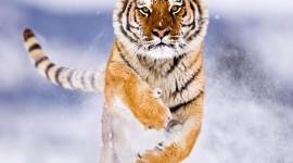 Amur Tiger Desktop Wallpaper