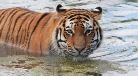 Amur Tiger Desktop Wallpaper HD