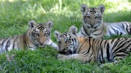 Amur Tiger Photo