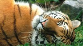 Amur Tiger Photo Free