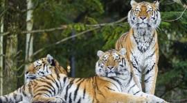 Amur Tiger Wallpaper 1080p