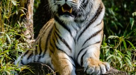 Amur Tiger Wallpaper For Android