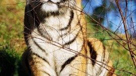 Amur Tiger Wallpaper For Android#1