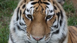 Amur Tiger Wallpaper For IPhone