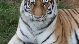 Amur Tiger Wallpaper For IPhone#1