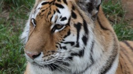 Amur Tiger Wallpaper For Mobile