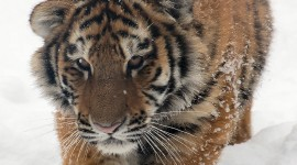 Amur Tiger Wallpaper For Mobile#1