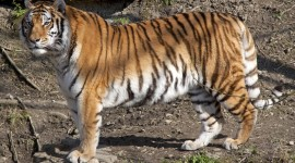 Amur Tiger Wallpaper For PC