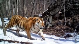 Amur Tiger Wallpaper Free