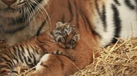 Amur Tiger Wallpaper Full HD
