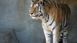 Amur Tiger Wallpaper Gallery