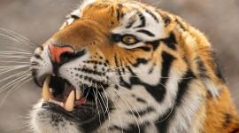 Amur Tiger Wallpaper HQ