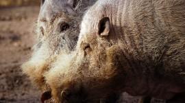 Bearded Pig Best Wallpaper