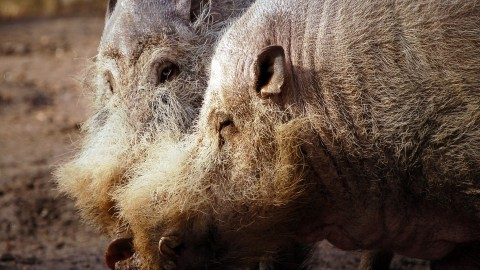 Bearded Pig wallpapers high quality