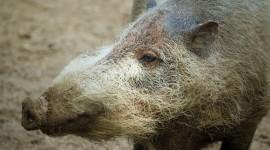 Bearded Pig Photo