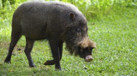 Bearded Pig Photo Download