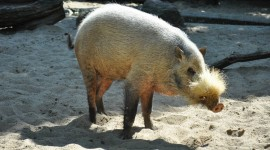 Bearded Pig Photo Free
