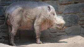 Bearded Pig Photo#1
