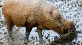 Bearded Pig Photo#2