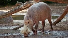 Bearded Pig Photo#3