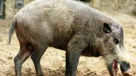 Bearded Pig Wallpaper 1080p