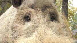 Bearded Pig Wallpaper