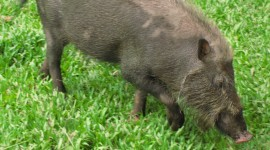 Bearded Pig Wallpaper Download