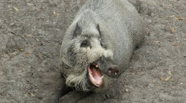 Bearded Pig Wallpaper Download Free