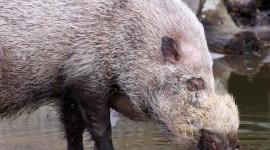 Bearded Pig Wallpaper Free