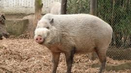 Bearded Pig Wallpaper Full HD