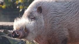Bearded Pig Wallpaper Gallery