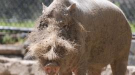Bearded Pig Wallpaper HQ#1