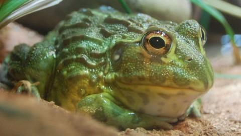 Bullfrog wallpapers high quality