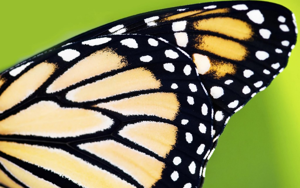 Butterfly Wing wallpapers HD