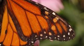 Butterfly Wing Wallpaper