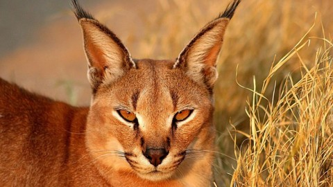 Caracal wallpapers high quality
