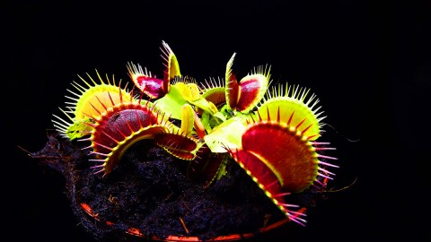 Dionaea Muscipula wallpapers high quality