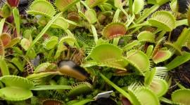 Dionaea Muscipula Desktop Wallpaper HD