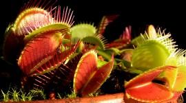 Dionaea Muscipula Wallpaper 1080p