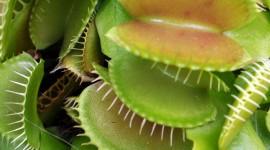 Dionaea Muscipula Wallpaper For IPhone