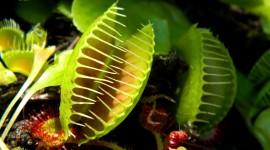 Dionaea Muscipula Wallpaper Full HD