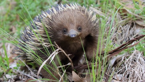 Echidna wallpapers high quality