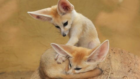 Fennec wallpapers high quality