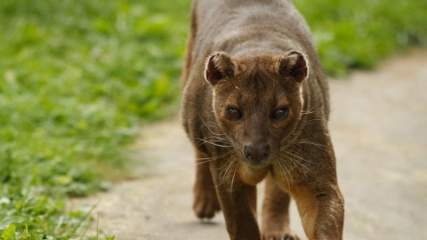 Fossa wallpapers high quality