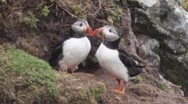 Fratercula Arctica Photo Download
